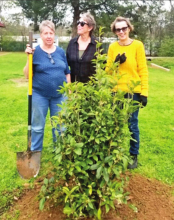 Mansfield Garden Club Honors Jo Ivey Moody with Arbor Day Memorial Tree Planting
